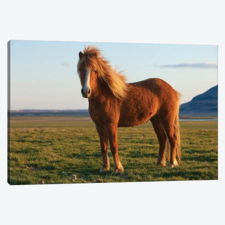 Iceland. Icelandic horse in sunset light VI Canvas Print #JYG45} by Jaynes Gallery Art Print