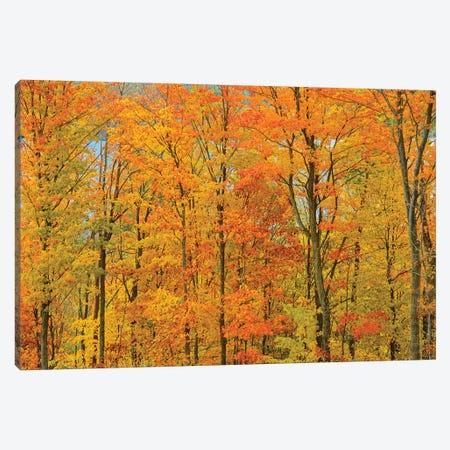 Canada, Ontario, Manitoulin Island. Sugar maple trees in autumn foliage. Canvas Print #JYG464} by Jaynes Gallery Canvas Art