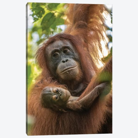 Indonesia, Borneo, Kalimantan. Female orangutan with baby at Tanjung Puting National Park. Canvas Print #JYG48} by Jaynes Gallery Canvas Artwork