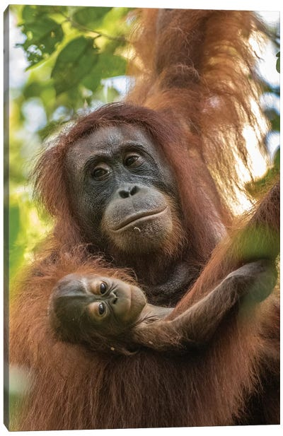 Indonesia, Borneo, Kalimantan. Female orangutan with baby at Tanjung Puting National Park. Canvas Art Print