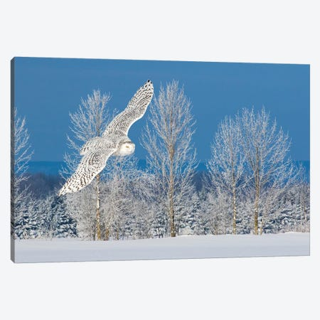 Canada, Ontario. Female snowy owl in flight I Canvas Print #JYG4} by Jaynes Gallery Canvas Artwork