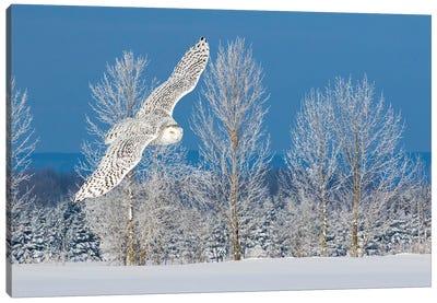 Canada, Ontario. Female snowy owl in flight I Canvas Art Print