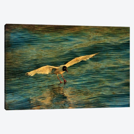 Canada. Franklin's gull landing on water. Canvas Print #JYG508} by Jaynes Gallery Canvas Wall Art