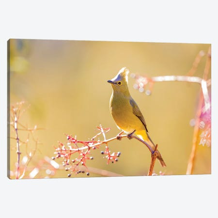 Central America, Costa Rica. Female long-tailed silky-flycatcher. Canvas Print #JYG513} by Jaynes Gallery Canvas Art Print