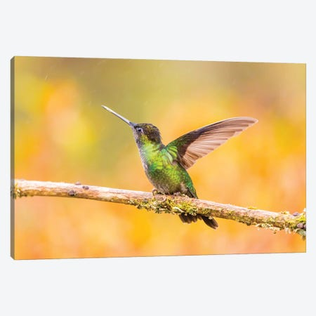 Central America, Costa Rica. Female talamanca hummingbird on limb. Canvas Print #JYG514} by Jaynes Gallery Canvas Art