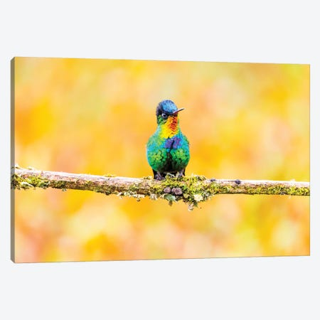 Central America, Costa Rica. Male fiery-throated hummingbird. Canvas Print #JYG515} by Jaynes Gallery Canvas Art