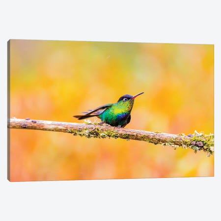 Central America, Costa Rica. Male fiery-throated hummingbird. Canvas Print #JYG516} by Jaynes Gallery Canvas Artwork