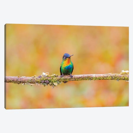 Central America, Costa Rica. Male fiery-throated hummingbird. Canvas Print #JYG517} by Jaynes Gallery Canvas Artwork