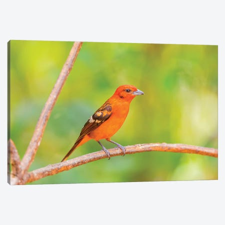 Central America, Costa Rica. Male flame-colored tanager. Canvas Print #JYG518} by Jaynes Gallery Canvas Print