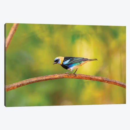 Central America, Costa Rica. Male golden-hooded tanager. Canvas Print #JYG520} by Jaynes Gallery Canvas Art