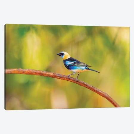 Central America, Costa Rica. Male golden-hooded tanager. Canvas Print #JYG521} by Jaynes Gallery Canvas Wall Art