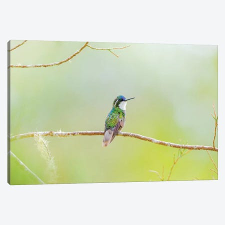 Central America, Costa Rica. Male grey-tailed mountaingem. Canvas Print #JYG522} by Jaynes Gallery Canvas Artwork