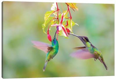 Central America, Costa Rica. Male hummingbirds feeding. Canvas Art Print