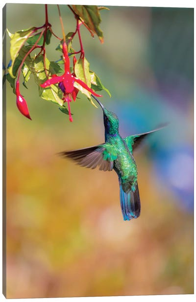 Central America, Costa Rica. Male lesser violetear hummingbird feeding. Canvas Art Print