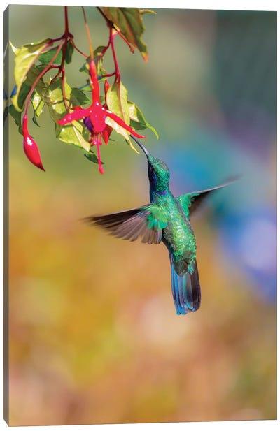 Central America, Costa Rica. Male lesser violetear hummingbird feeding. Canvas Art Print