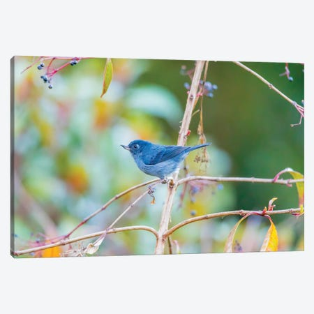 Central America, Costa Rica. Male slaty flowerpiercer. Canvas Print #JYG528} by Jaynes Gallery Canvas Artwork