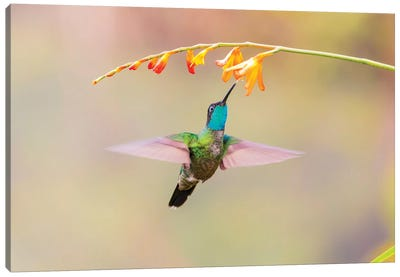 Central America, Costa Rica. Male talamanca hummingbird feeding. Canvas Art Print