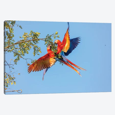 Central America, Costa Rica. Scarlet macaw pair in tree. Canvas Print #JYG540} by Jaynes Gallery Canvas Artwork