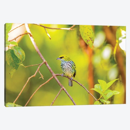 Central America, Costa Rica. Speckled tanager in tree. Canvas Print #JYG541} by Jaynes Gallery Canvas Wall Art