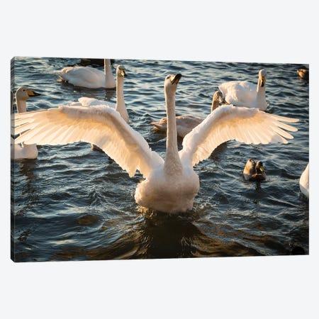 Iceland, Reykjavik, Tjornin. Backlit whooper swan with wings spread.  Canvas Print #JYG559} by Jaynes Gallery Canvas Print