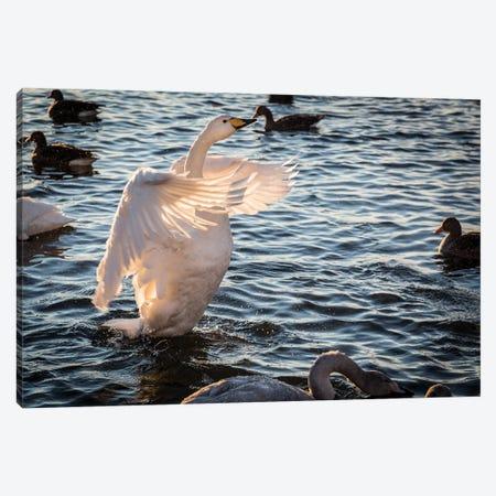Iceland, Reykjavik, Tjornin. Backlit whooper swan with wings spread.  Canvas Print #JYG560} by Jaynes Gallery Canvas Wall Art