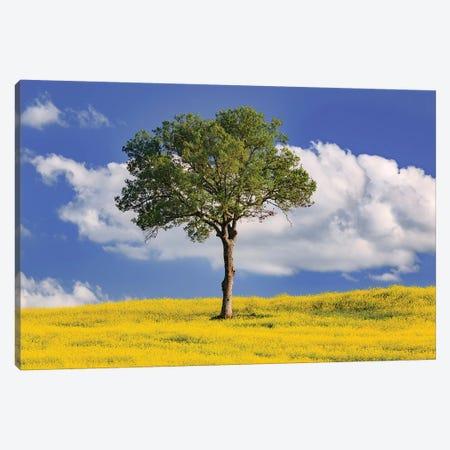 Italy, San Quirico d'Orcia. Tree and farm crop.  Canvas Print #JYG572} by Jaynes Gallery Canvas Print