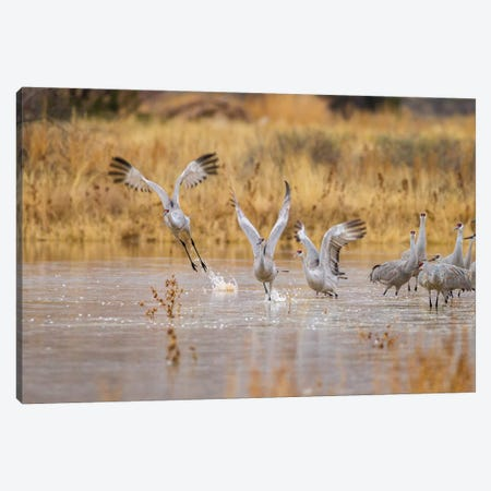 New Mexico, Bosque del Apache National Wildlife Refuge. Sandhill cranes take flight from water. Canvas Print #JYG587} by Jaynes Gallery Canvas Print