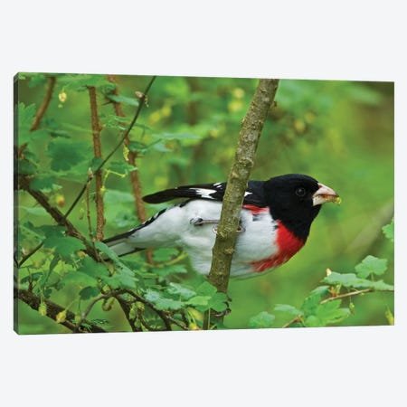 Point Pelee National Park. Rose-breasted grosbeak close-up. Canvas Print #JYG592} by Jaynes Gallery Canvas Print