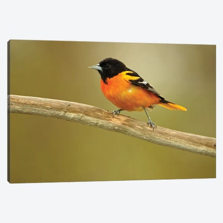 Rondeau Provincial Park. Baltimore oriole on branch. Canvas Print #JYG593} by Jaynes Gallery Canvas Print