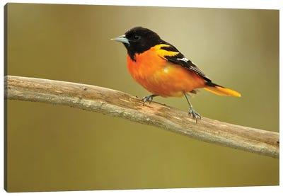 Rondeau Provincial Park. Baltimore oriole on branch. Canvas Art Print