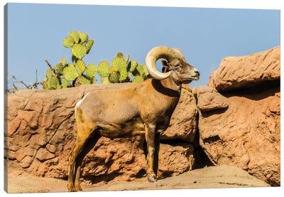 USA, Arizona, Arizona-Sonora Desert Museum. Desert bighorn ram.  Canvas Art Print