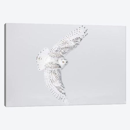 Canada, Ontario. Female snowy owl in flight II Canvas Print #JYG5} by Jaynes Gallery Canvas Wall Art