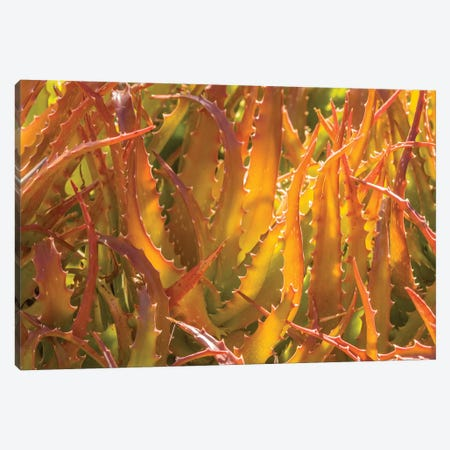 USA, Arizona, Desert Botanic Garden. Backlit agave cactus.  Canvas Print #JYG602} by Jaynes Gallery Canvas Print