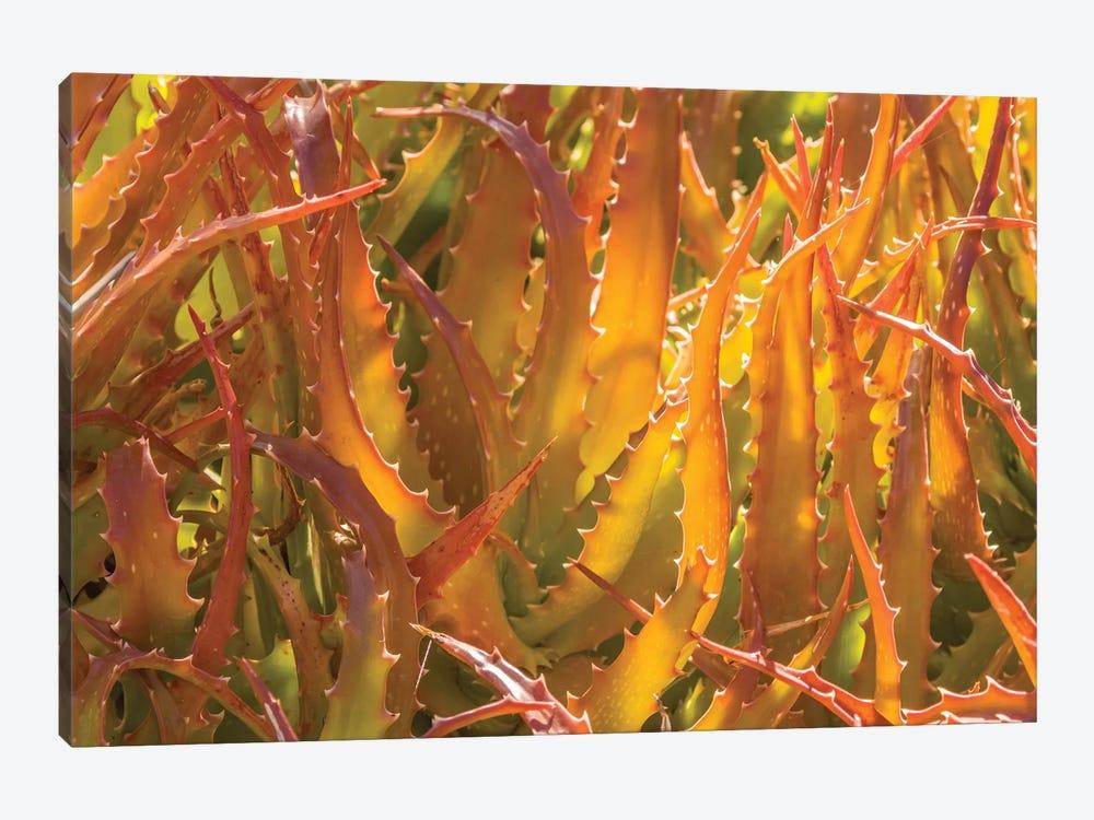 USA, Arizona, Desert Botanic Garden. Backlit agave cactus.  by Jaynes Gallery 1-piece Canvas Art