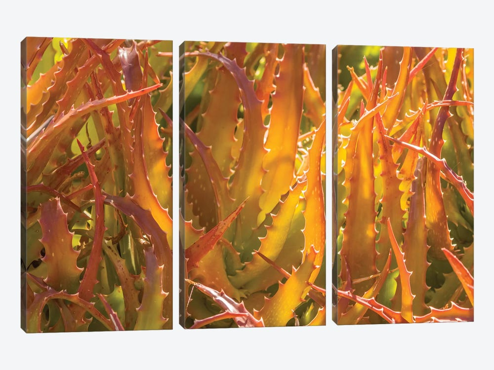 USA, Arizona, Desert Botanic Garden. Backlit agave cactus.  by Jaynes Gallery 3-piece Canvas Art