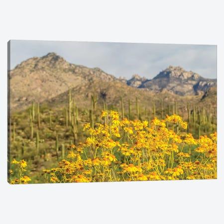 USA, Arizona, Sabino Canyon. Brittlebush blossoms and Catalina Mountains.  Canvas Print #JYG611} by Jaynes Gallery Canvas Art