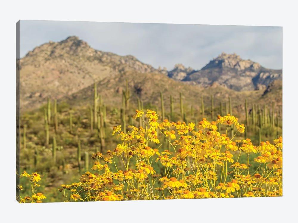 USA, Arizona, Sabino Canyon. Brittlebush blossoms and Catalina Mountains.  by Jaynes Gallery 1-piece Canvas Art