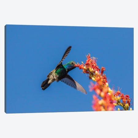 USA, Arizona, Sabino Canyon. Male broad-billed hummingbird feeding on ocotillo blossoms.  Canvas Print #JYG612} by Jaynes Gallery Canvas Artwork