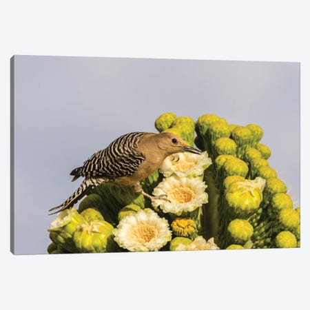 USA, Arizona, Sabino Canyon. Male gila woodpecker feeding on cactus blossom.  Canvas Print #JYG614} by Jaynes Gallery Canvas Print