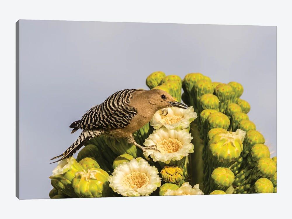 USA, Arizona, Sabino Canyon. Male gila woodpecker feeding on cactus blossom.  by Jaynes Gallery 1-piece Art Print