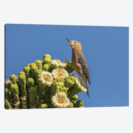 USA, Arizona, Sabino Canyon. Male gila woodpecker feeding on cactus blossom.  Canvas Print #JYG615} by Jaynes Gallery Art Print