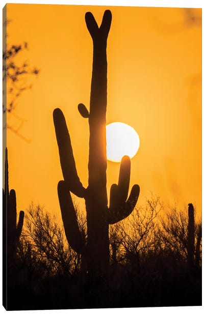 USA, Arizona, Saguaro National Park. Saguaro cactus at sunset.  Canvas Art Print