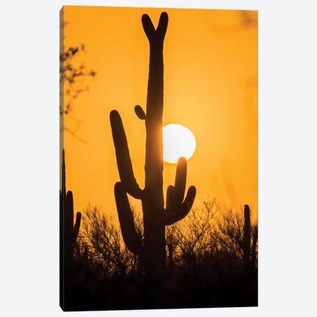 USA, Arizona, Saguaro National Park. Saguaro cactus at sunset.  Canvas Print #JYG616} by Jaynes Gallery Art Print