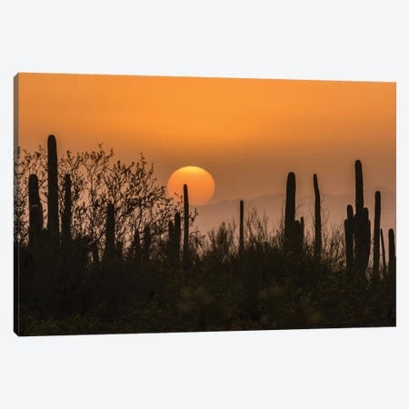USA, Arizona, Saguaro National Park. Saguaro cactus at sunset.  Canvas Print #JYG617} by Jaynes Gallery Canvas Print