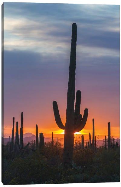 USA, Arizona, Saguaro National Park. Saguaro cactus at sunset.  Canvas Art Print