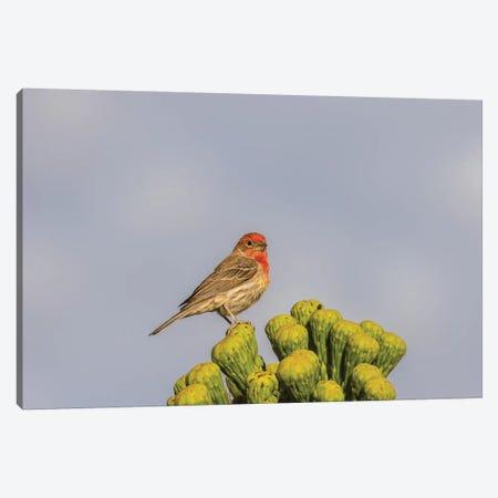 USA, Arizona, Sonoran Desert. Male house finch on saguaro cactus buds.  Canvas Print #JYG621} by Jaynes Gallery Art Print