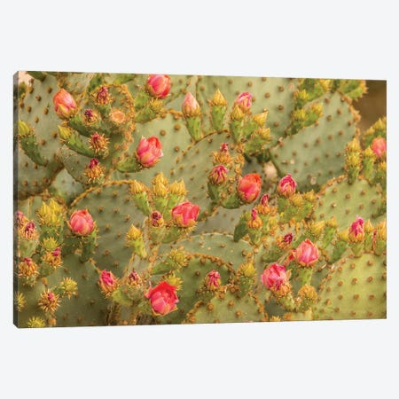 USA, Arizona, Sonoran Desert. Prickly pear cactus blossoms.  Canvas Print #JYG622} by Jaynes Gallery Art Print