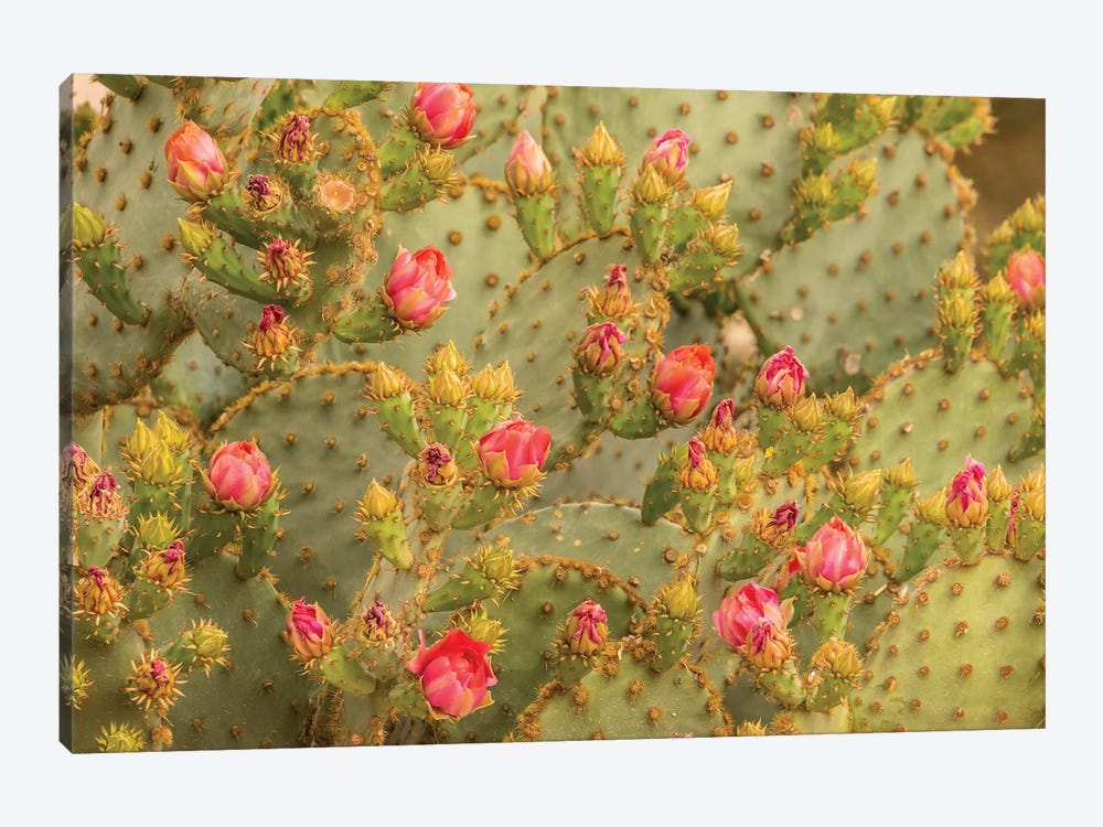 USA, Arizona, Sonoran Desert. Prickly pear cactus blossoms.  by Jaynes Gallery 1-piece Canvas Artwork