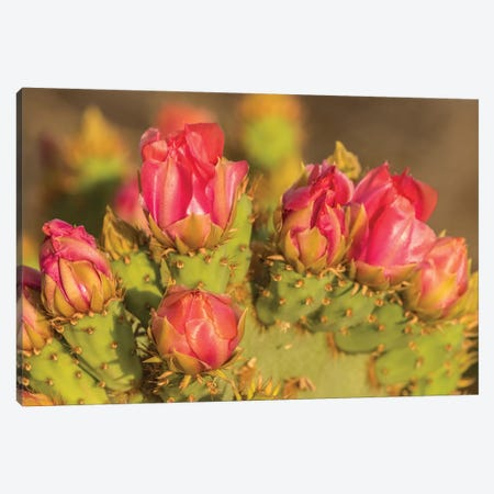 USA, Arizona, Sonoran Desert. Prickly pear cactus blossoms.  Canvas Print #JYG623} by Jaynes Gallery Canvas Print