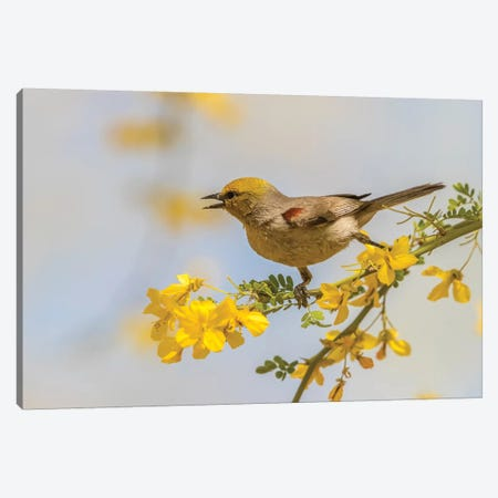 USA, Arizona, Sonoran Desert. Verdin bird on limb.  Canvas Print #JYG624} by Jaynes Gallery Canvas Art